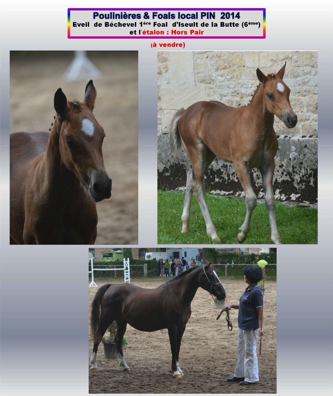 Iseult de la Butte concours 2014 avec Eveil de Bechevel 1er foal 2014 au local Le Pin